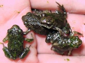 4 Remaining Frogs - algae on backs