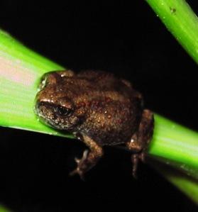 1 Gloomy Frog on Leaf