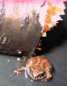 Frog Under Wood
