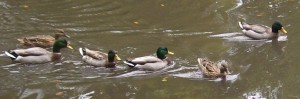 2009 Oct Freedom Ducks in a group 1