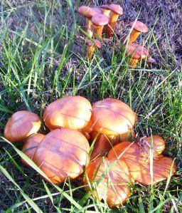 2009 Oct Orange Mushrooms in my yard