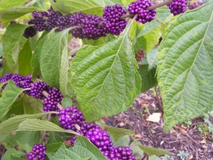 2009 Oct Plants Purple Seeds Attracts Birds